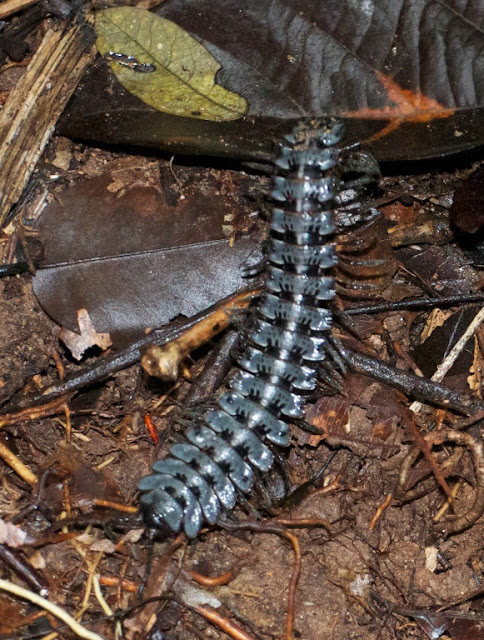 tractor millipede (Barydesmus sp)