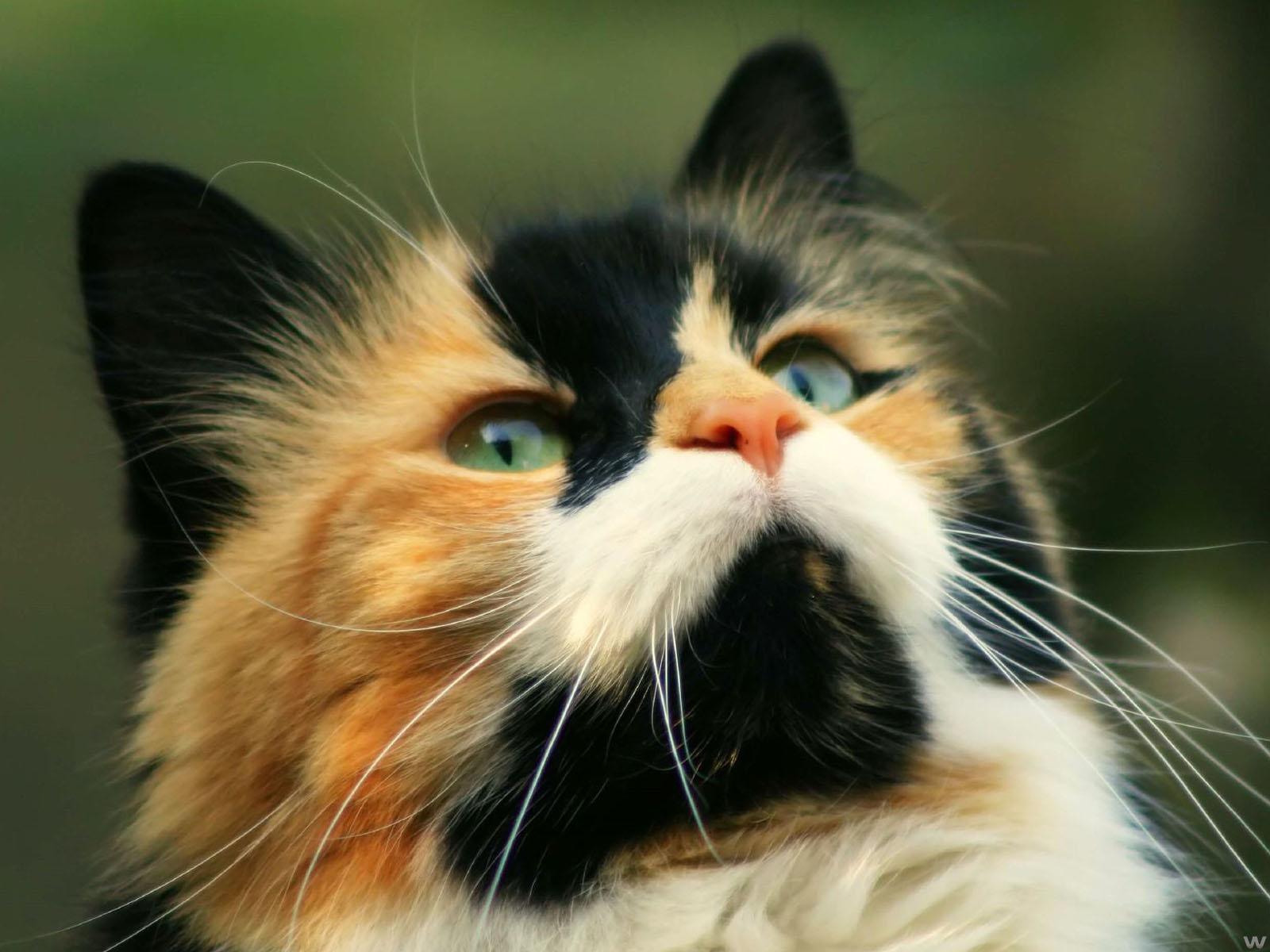 Filhote de gato Persa Blue Mackerel Tabby - YouTube