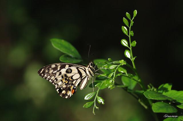 雞南山的無尾鳳蝶