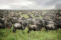 Wildebeest travel long distances through Eastern Africa each year to coincide with the annual pattern of rainfall and grass growth. Taken in Tanzania. (Credit: Home / Wildlife and Warriors / Wildebeest Migration (Credit: © 2016 David Lazar) Click to Enlarge.