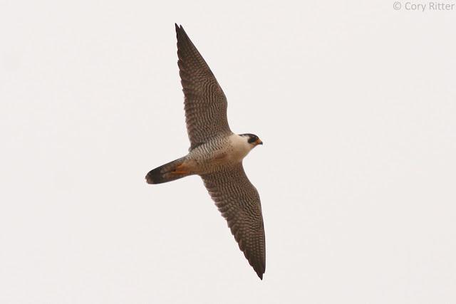 Adult soaring