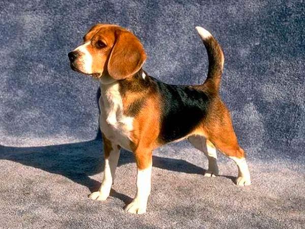 Beagle - Raças de Cães - Animais