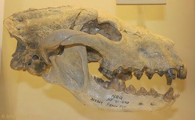 Aelurodon skull