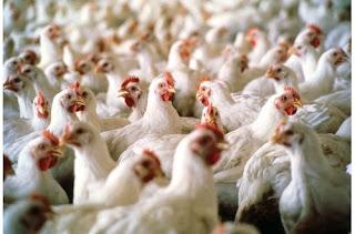 Tips supaya ayam tidak mudah terserang berbagai macam penyakit