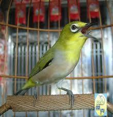 Burung berhenti bunyi dan turun tangkringan