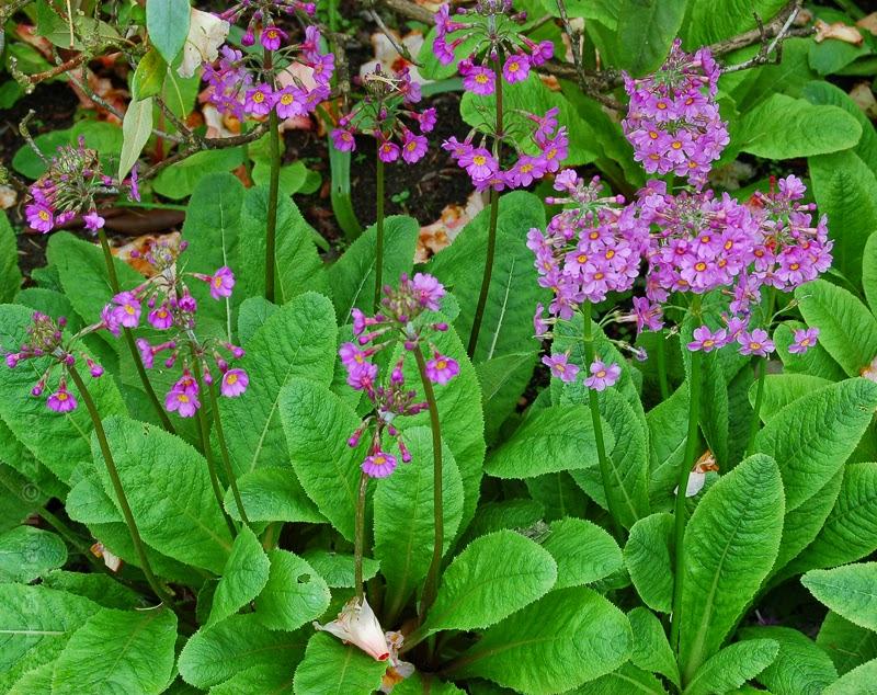 Semis de Primula - Page 5 Primula%2Bburmanica