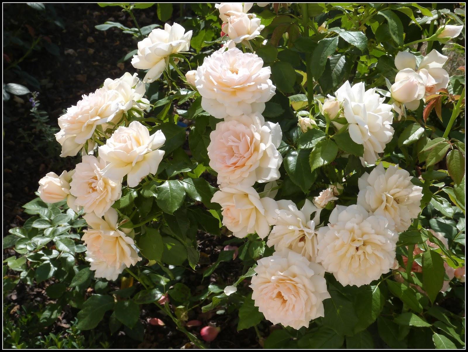 Un jardin des fleurs explosion de roses - Comment couper un rosier ...
