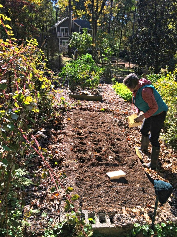 sue 39 s in the garden growing the groceries planting garlic on a beautiful fall day. Black Bedroom Furniture Sets. Home Design Ideas