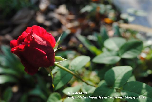 trandafir din gradina bunicii