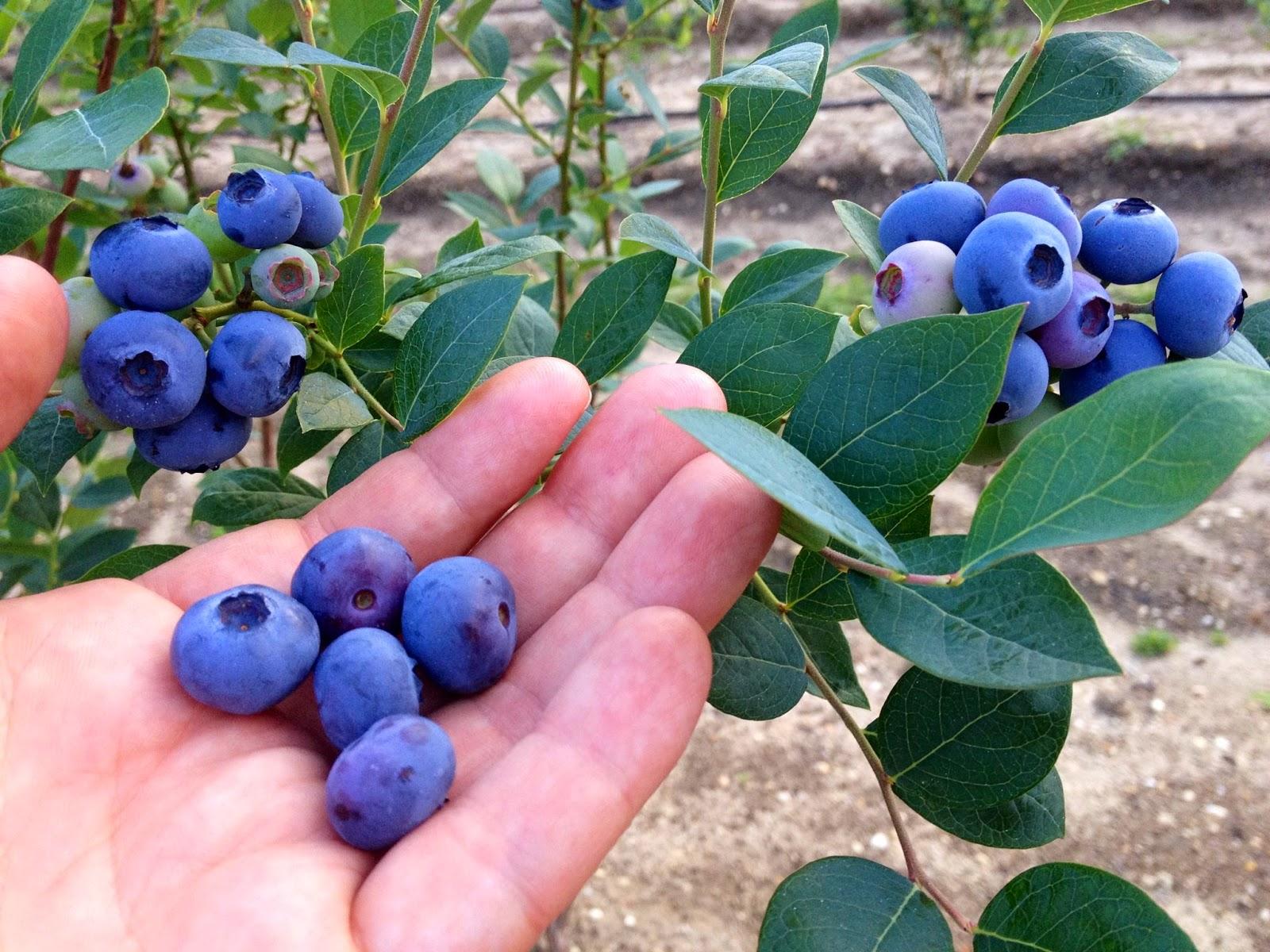 Classic Blueberry Pie