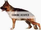 Bệnh Do Herpesvirus Trên Chó