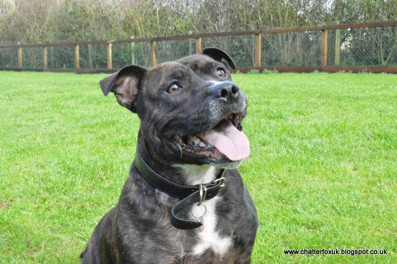 Ian, dog, staffordshire bull terrior