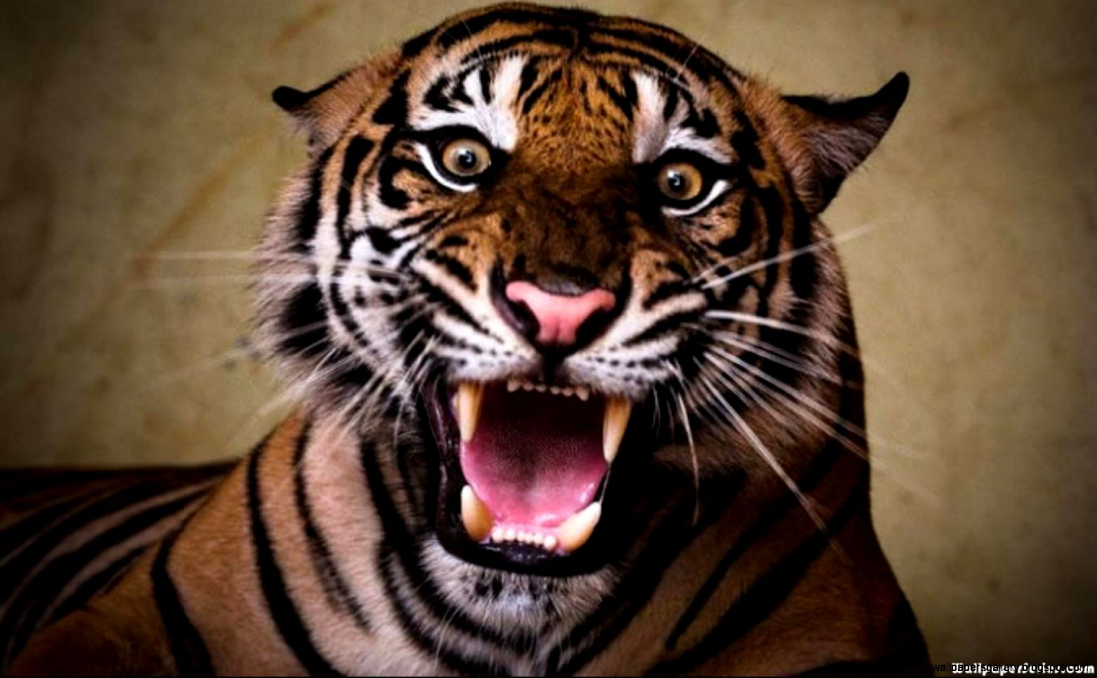 Angry Tiger Face Wallpaper Wallpapers Gallery