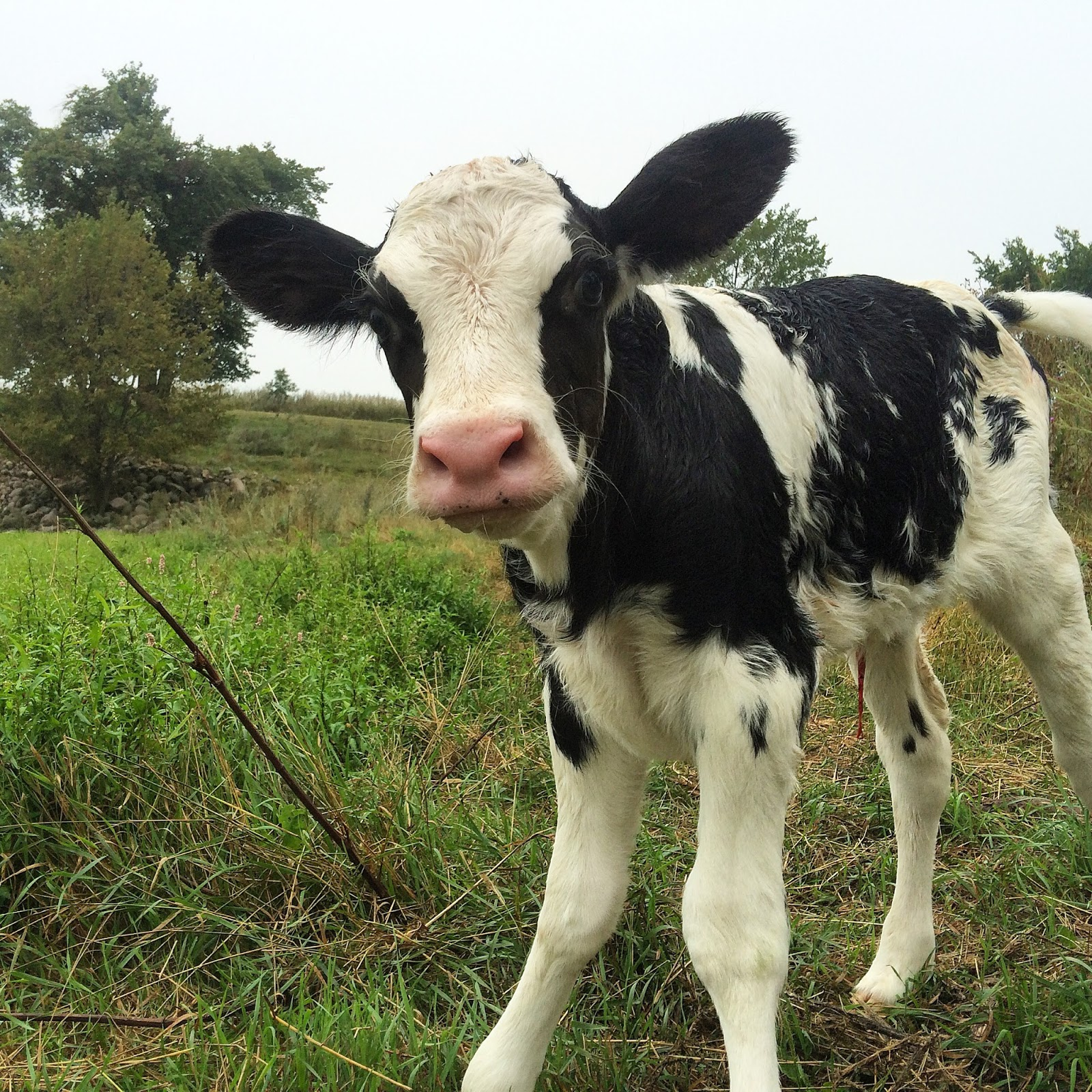 newborn Holstein heifer calf in pasture