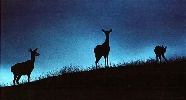 Красный олень