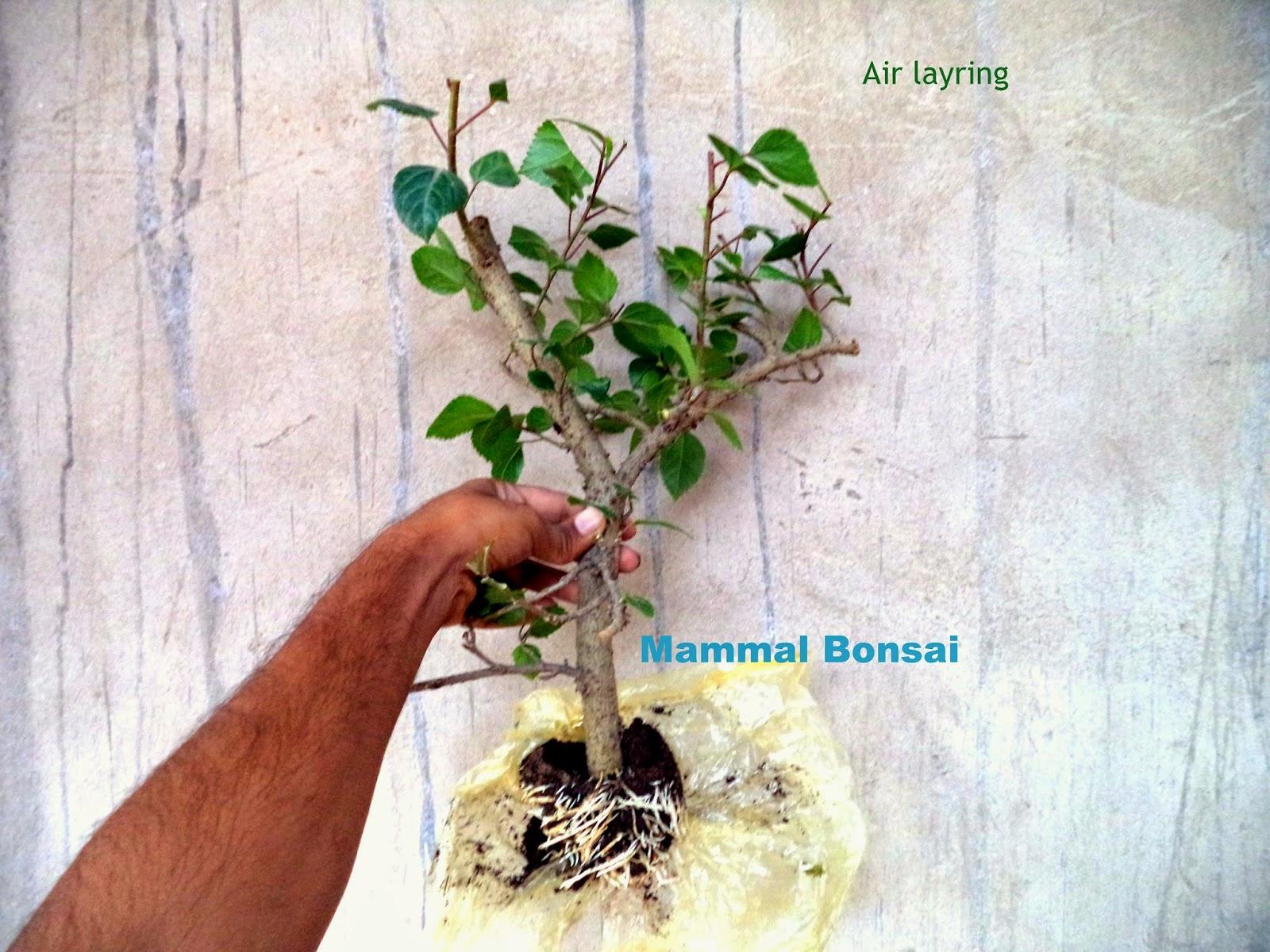 Mammal Bonsai Hibiscus Air Layering