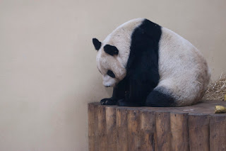 Giant panda picture