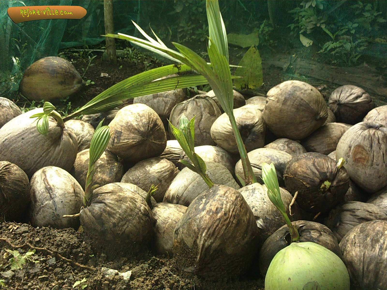 the philippine coconut industry Philippines as a tropical country is abundant of coconut trees the coconut industry is a dominant sector of the philippine agriculture according to the philippine.