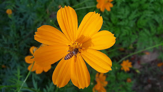 Orange Cosmos sulphureus with Bee