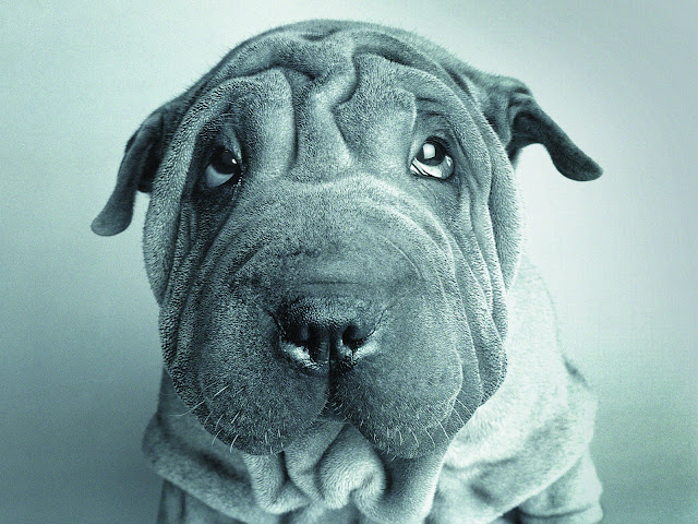 shar pei, shar pei wallpapers