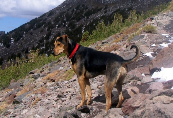 American Black And Tan Coonhounds Dogs Boozer | Apps Directories American Foxhound Strains
