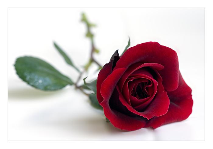 waar staan witte rozen voor