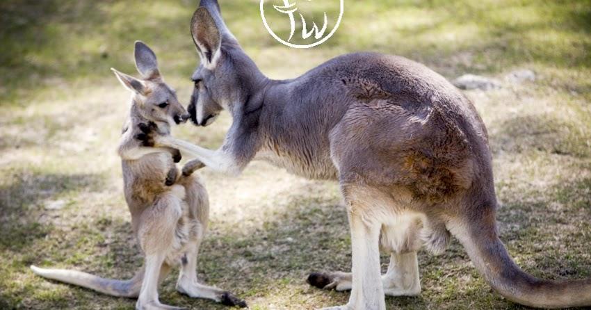 Best Of Nature Female Kangaroos Have Three Vaginas