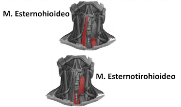 Anatomia del cuello for Esternohioideo y esternotiroideo