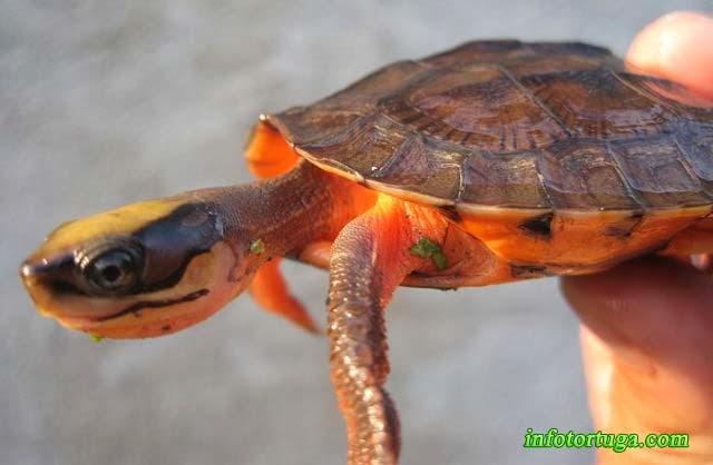 Cuora trifasciata - Tortuga caja rayada