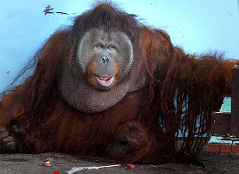 Orangutan King Deja View: King Louie