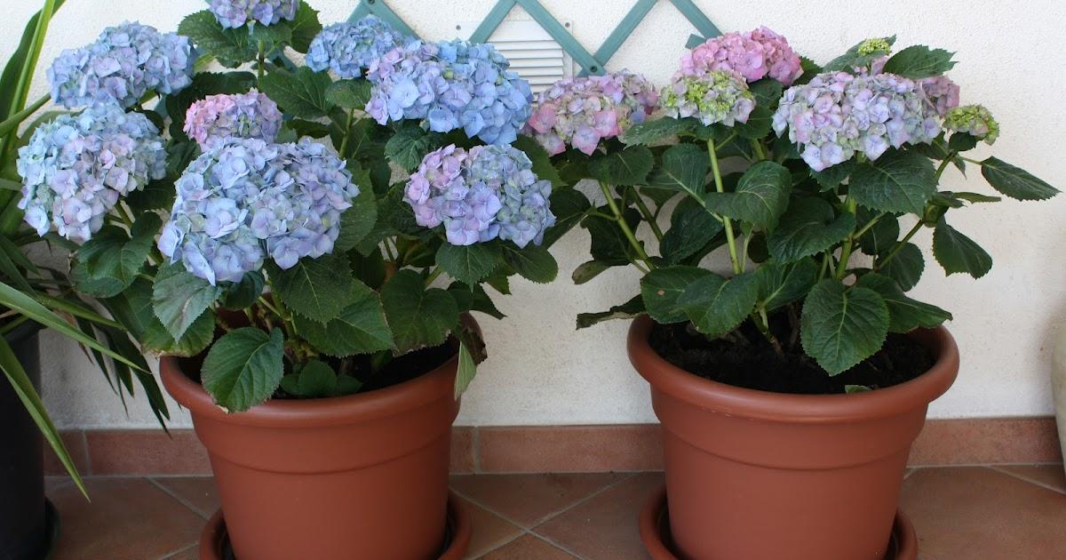 Il piccolo giardino di l ultimi aggiornamenti sulle mie for Ortensie in vaso