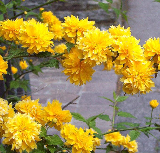 siepe con fiori gialli
