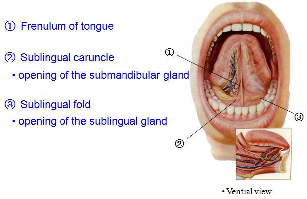 inflamed taste bud. taste bud synapses Number