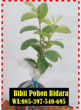 BIBIT POHON BIDARA ARAB ASLI