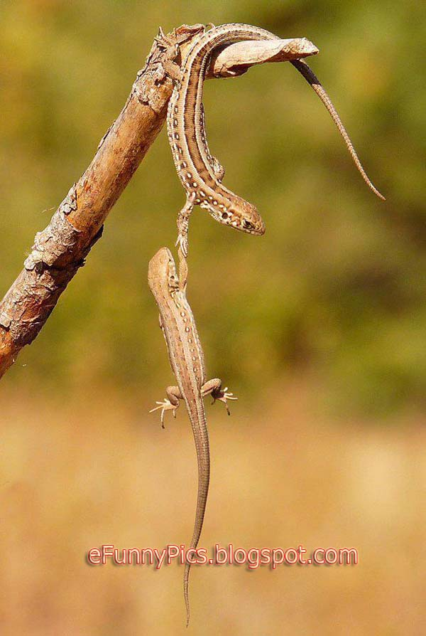 Assistance Between Lizards