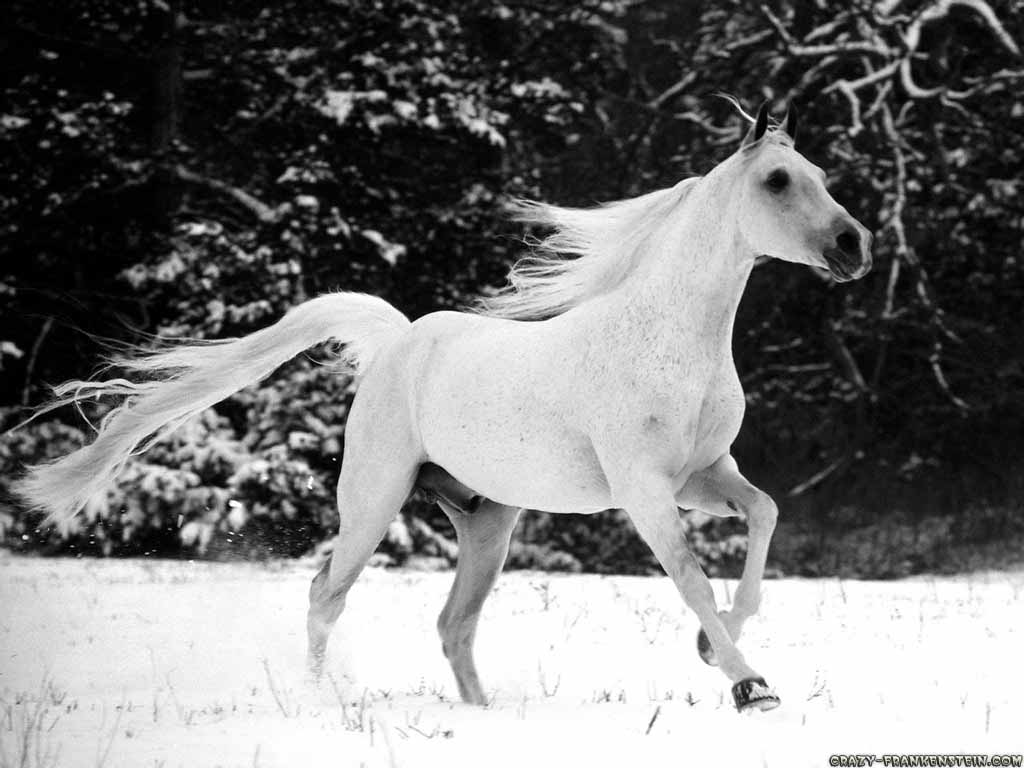 Beautiful   Wallpaper Horse National Geographic - white-stallion-horse-wallpaper  Picture_206632.jpg