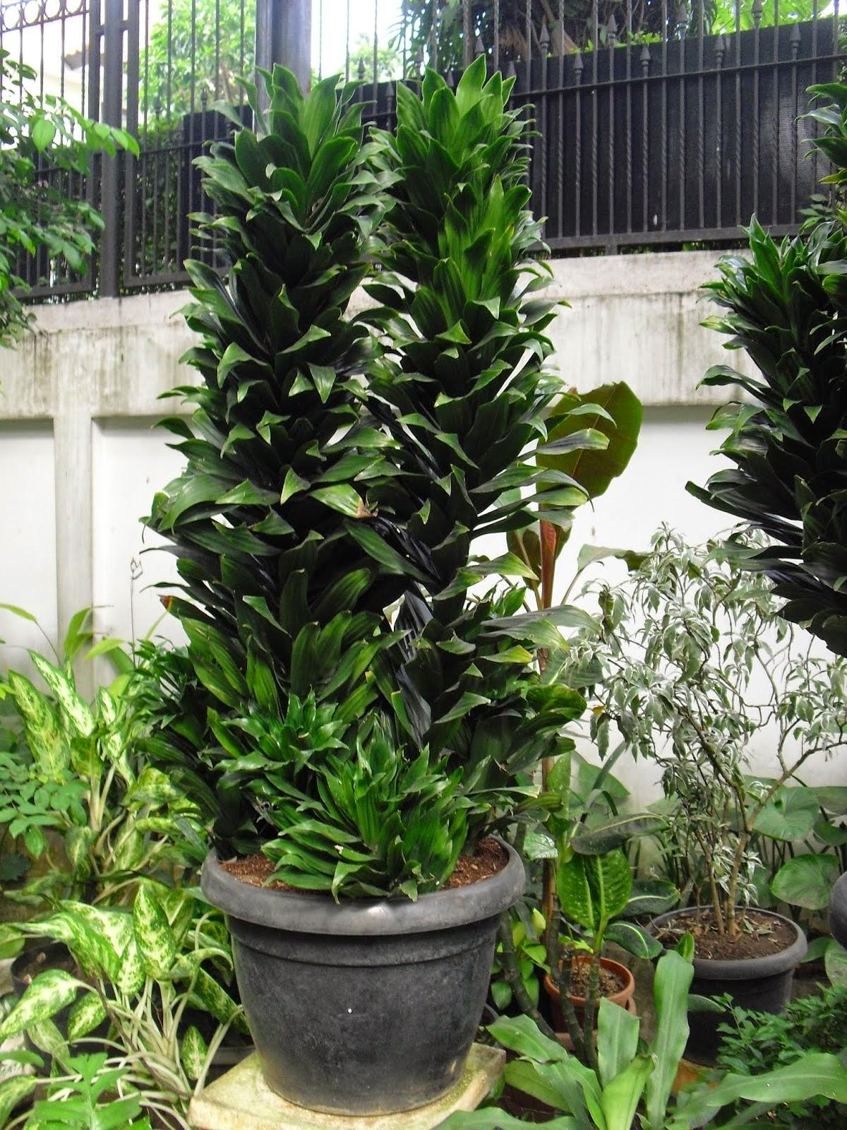 Jual pohon anjuang (kemoceng) | suplier tanaman | tanaman hias | jasa desain taman