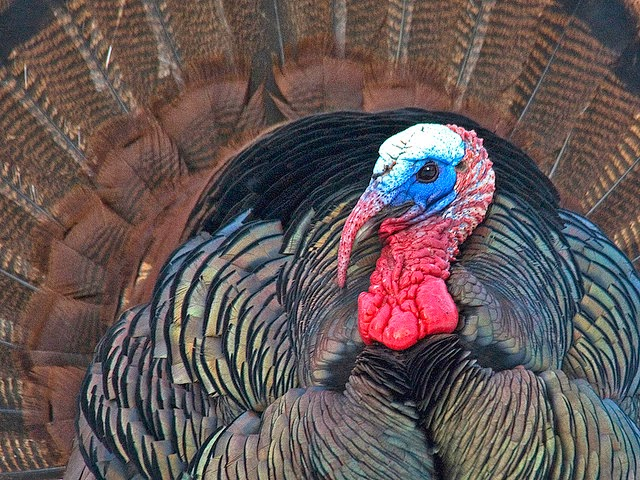 http://michiganmoments.com/2011/11/24/wild-tom-turkey/
