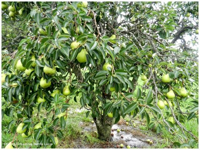 peral cargado de frutos - Chacra Educativa Santa Lucía