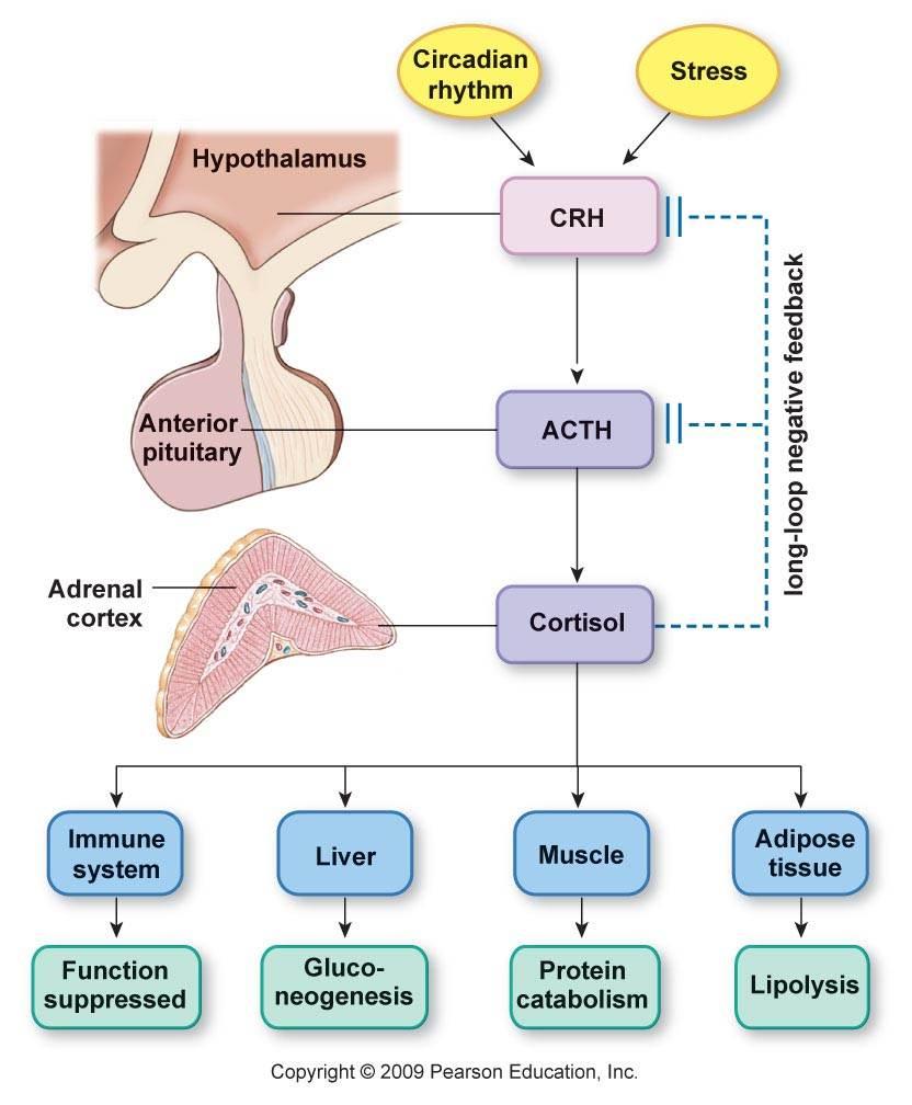 Adrenal Gland: My Biomedical Notebook: Endocrinology/Hormones