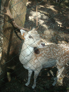 brown-spotted deer in zoobic safari