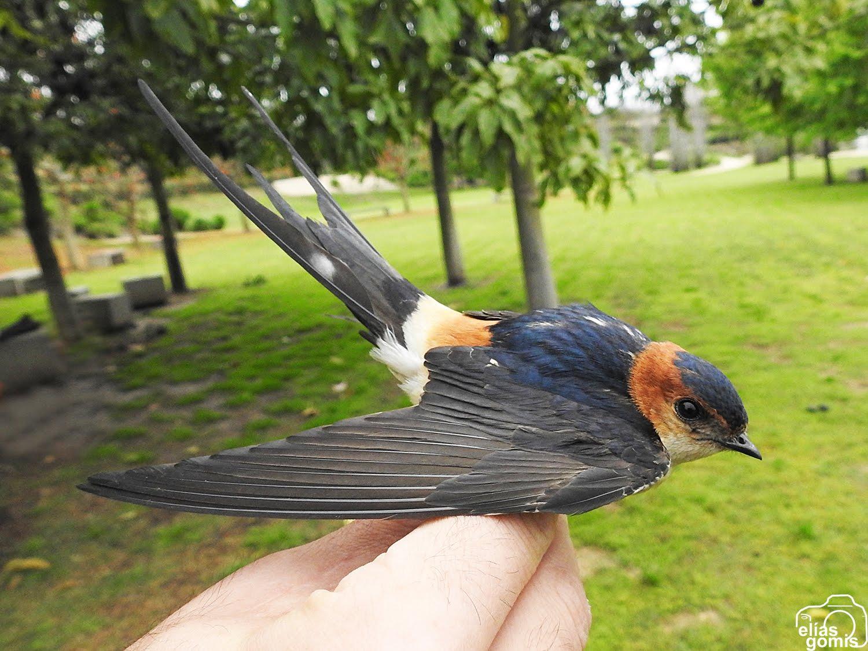 Proyecto de anillamiento científico de aves. Parque La Marjal