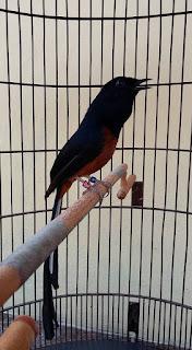 Variasi suara burung murai batu mp3