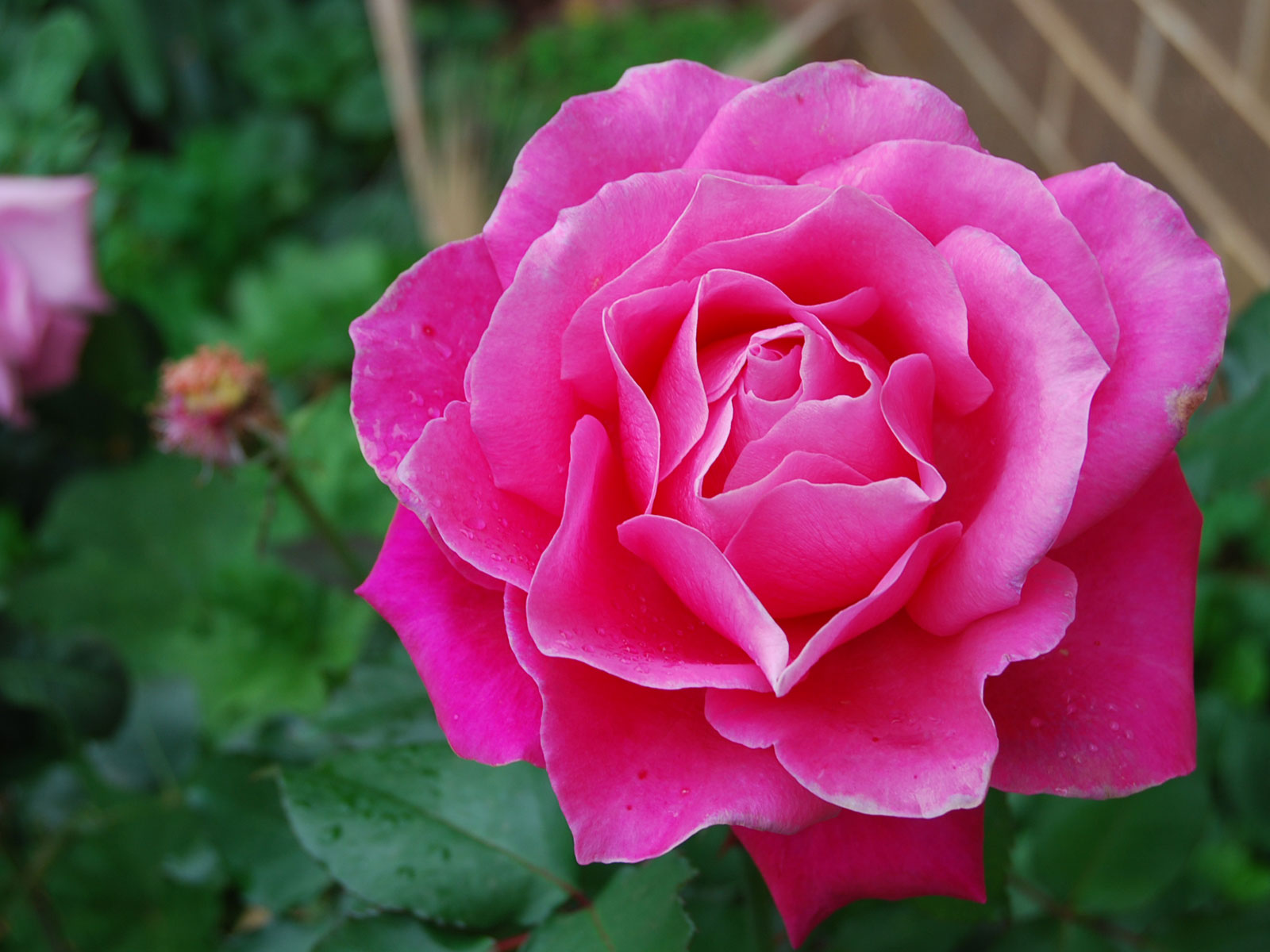 pink rose in - photo #2