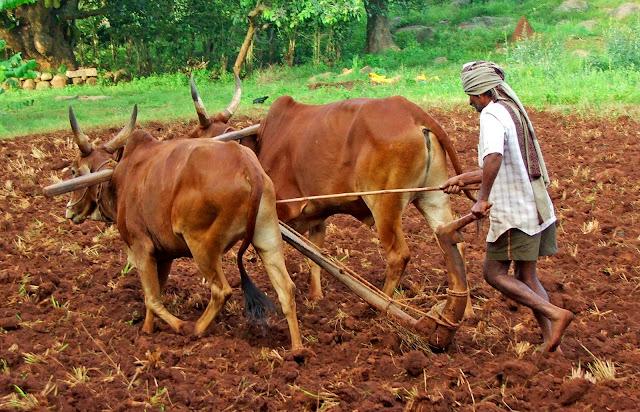 vacas sagradas de la India
