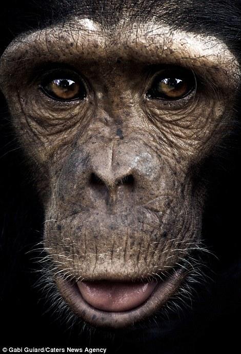 بالصور: شمبانزي يقدّم تعبيرات بوجهه