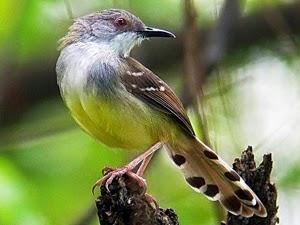 Memaksimalkan Suara Burung Ciblek