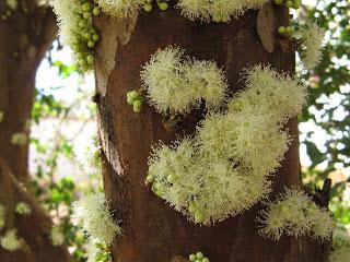 цветы жабутикабы