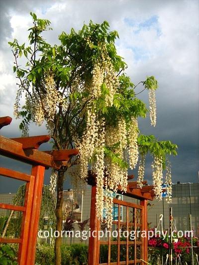 White wisteria tree picture-wisteria sinensis alba picture
