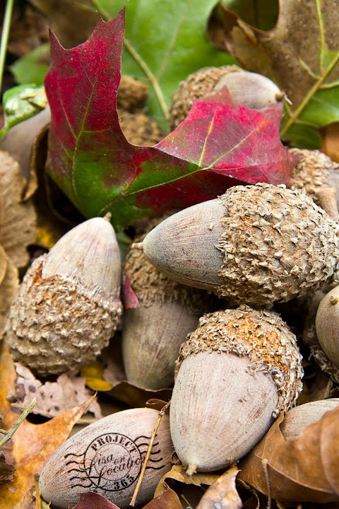 365 photo challenge, Lisa On Location photography, New Braunfels, Texas. Bur oak acorns